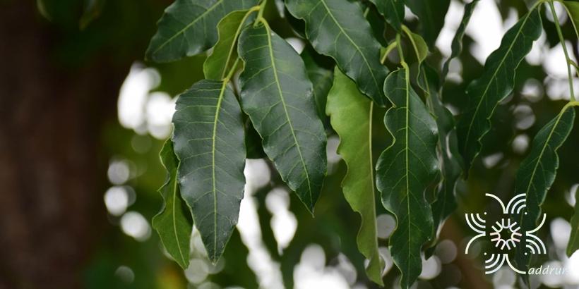 สะเดา <em>Azadirachta indica</em> A. Juss.