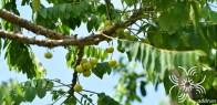 มะยม Phyllanthus acidus (L.) Skeels