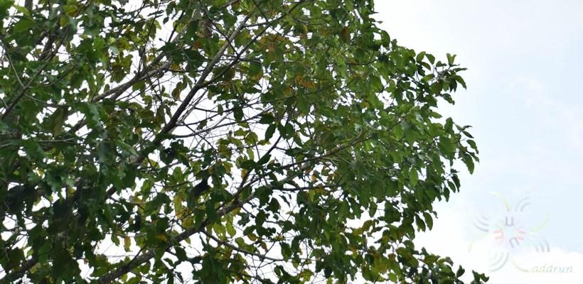 ยางนา Dipterocarpus alatus Roxb. ex G.Don