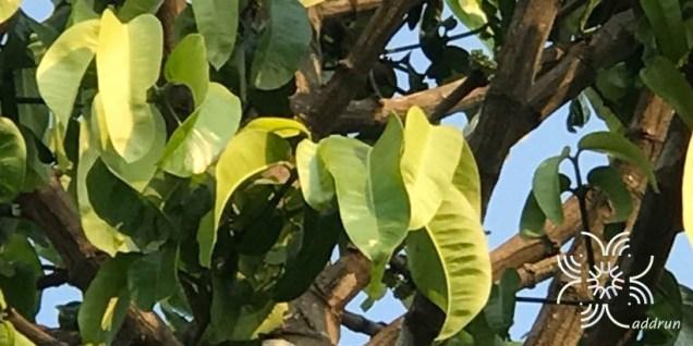 มะพูด Garcinia dulcis (Roxb.) Kurz
