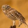 Athene (Owl)