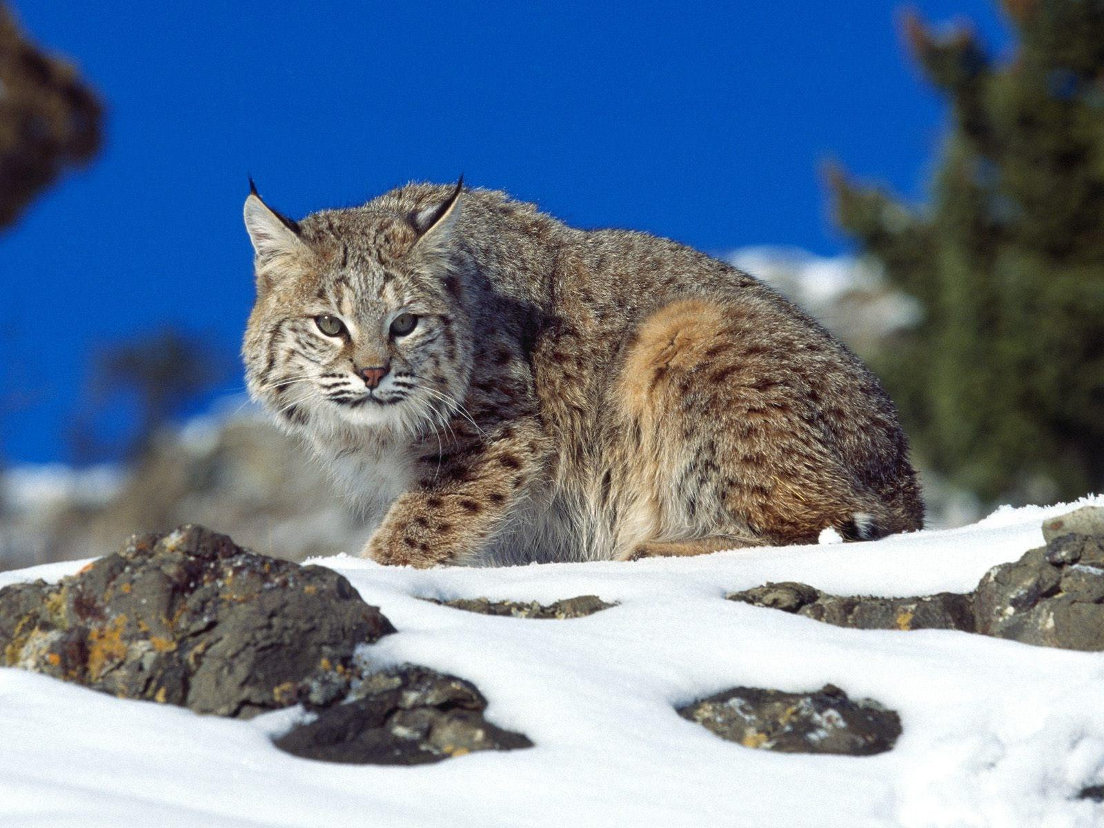 Cute Wallpaper With White Background Hd Bobcat Background Wallpaper Download Free 139749
