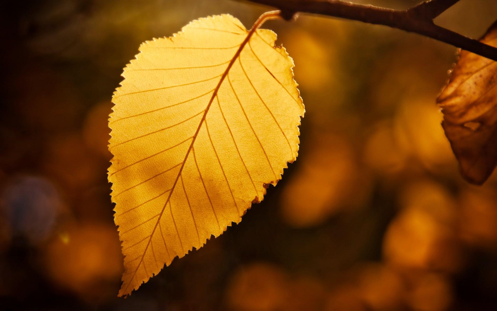 HD Golden Leaf Desktop Wallpaper  Download Free  139593