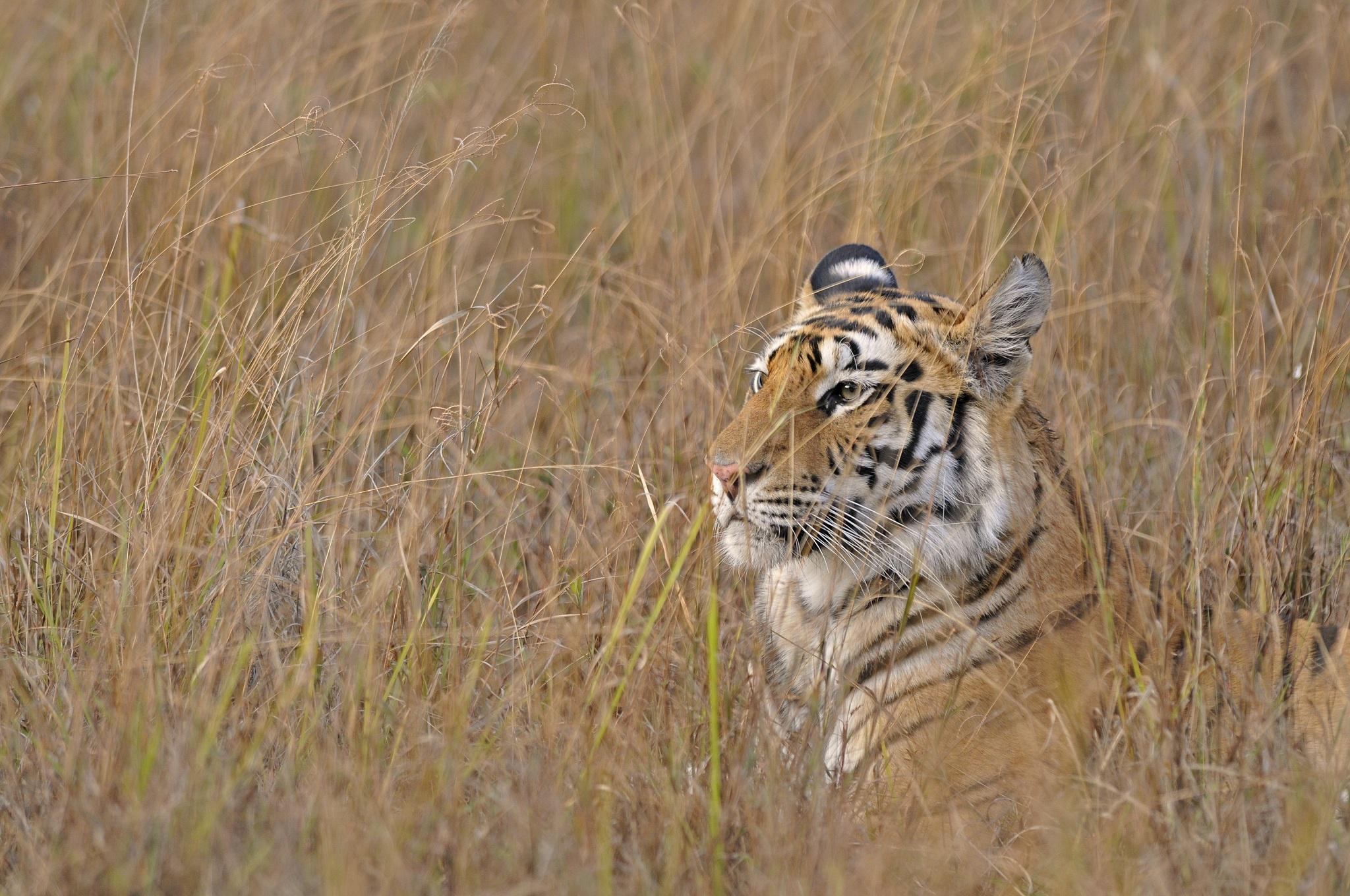 Cute Baby Blue Eyes Wallpaper Hd Tiger Wild Cat Face Profile Grass Camouflage Hd