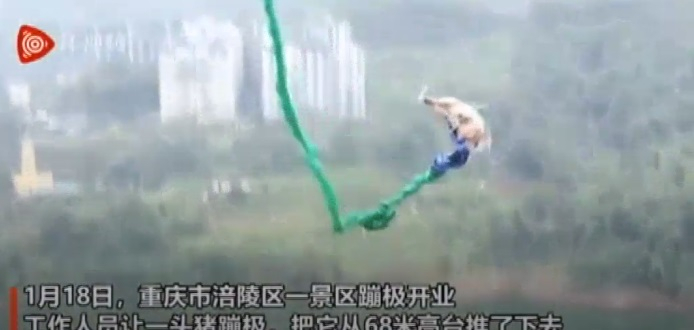 Pig Bungee Jump China Has No Law Against Animal Cruelty