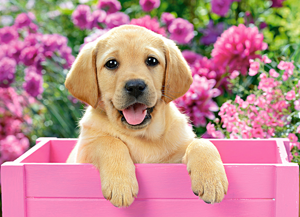 Pink Wallpaper With Cute Puppy Golden Retriever Puzzle Labrador Puppy In Pink Box Castorland 030071 300