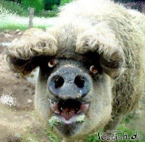 Schwein mit Dauerwelle Bild  lustichde