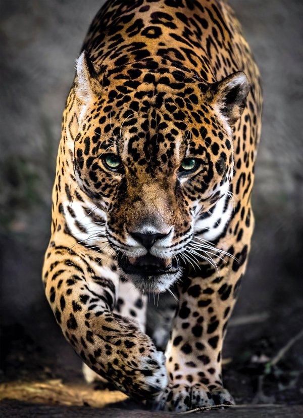 Jaguar Puzzles Jigsaw