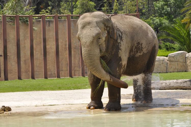 Elefante asitico