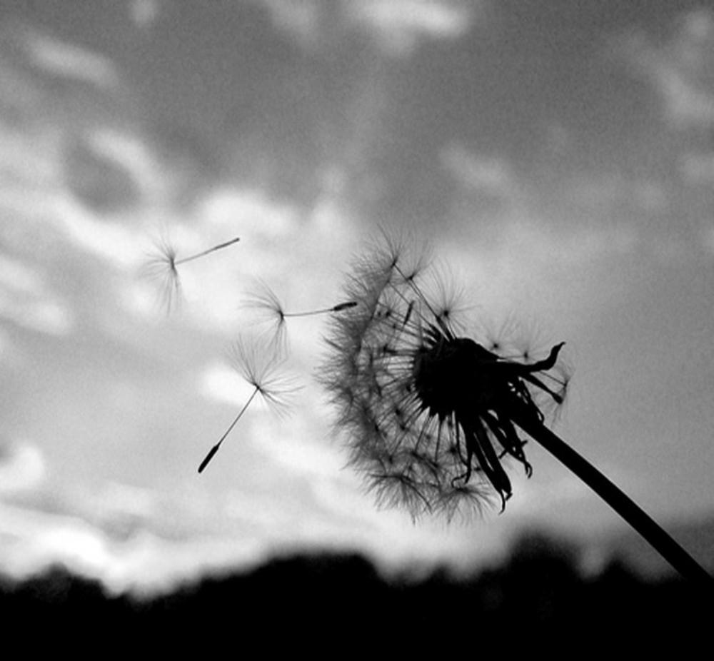 dandelion black white flower