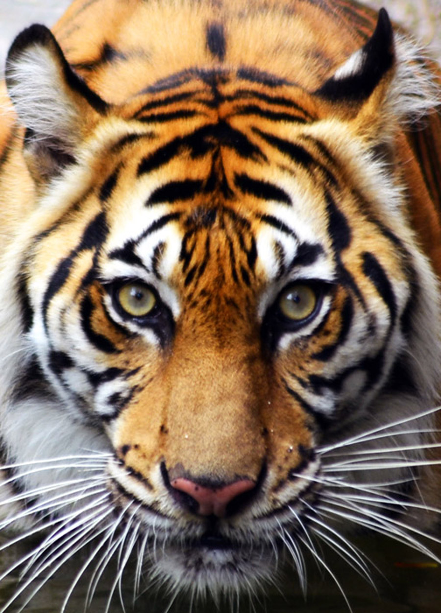 tiger face  Google Search  We Heart It  art nature