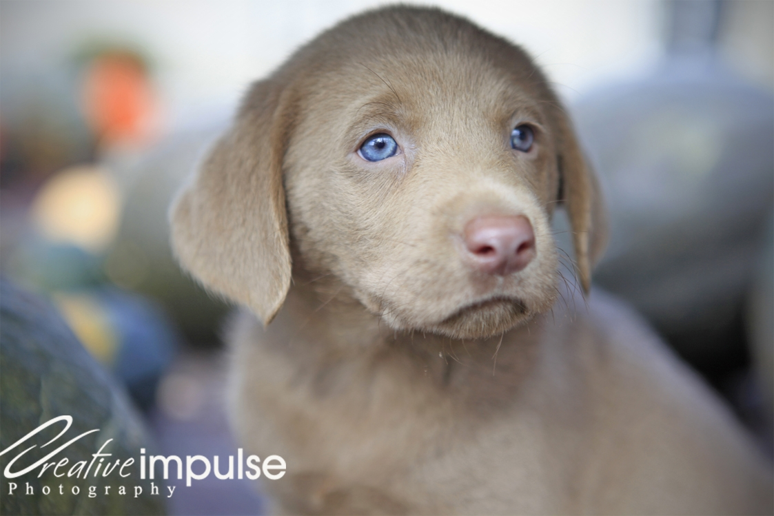 chocolate labrador puppies with