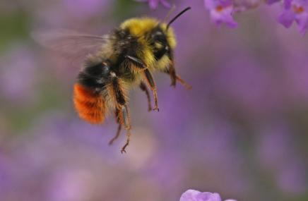 Red-tailed bumblebee - Rachel scopes - Rachel scopes