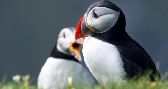 Map Where Puffins Live