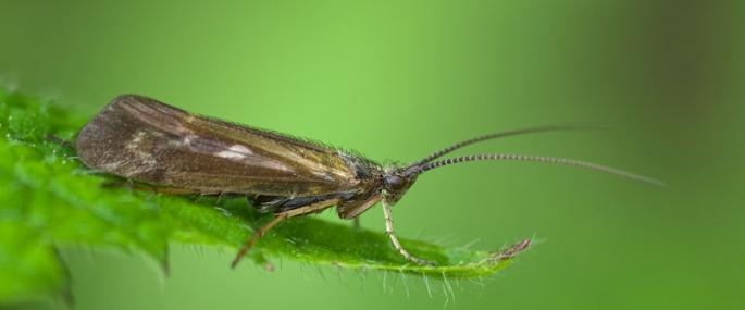Caddis fly - northeastwildlife.co.uk - northeastwildlife.co.uk