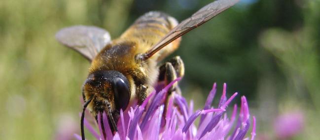 leaf-cutter bee - Cécile Bassaglia - Cécile Bassaglia
