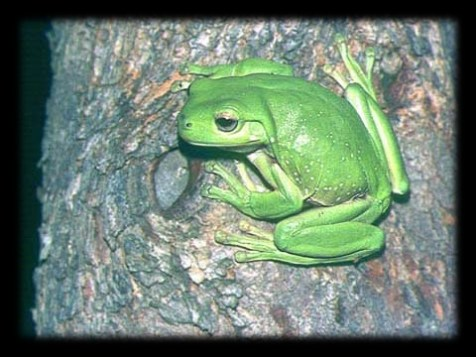green_tree_frog_blurred