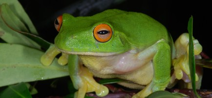 7-mahony-australias-vanishing-frogs-c-ross-knowles-h-6_1178_onwebsite_5058