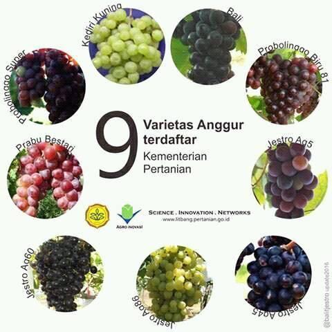 9 Varietas Anggur Unggulan