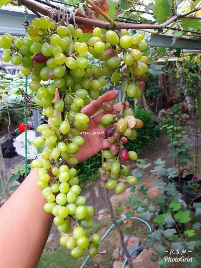 Anggur Rizamat