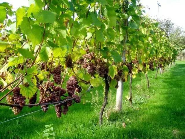 Rambatan anggur VSP Trellis System