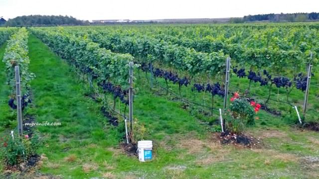 Kebun anggur dengan rambatan VSP Trellis System