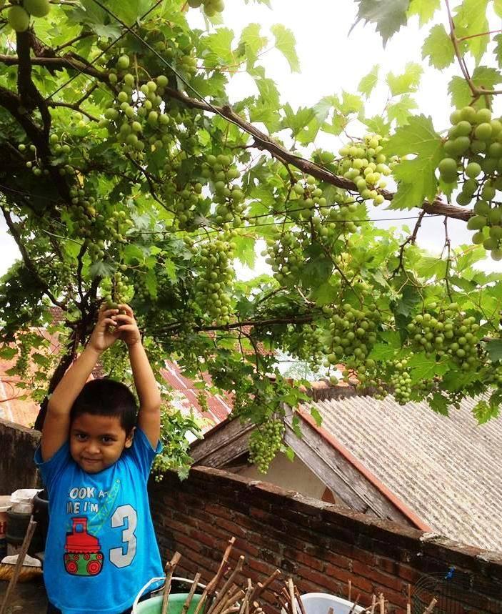 Pohon Anggur di Atap Rumah