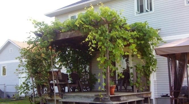 Membuat Kanopi dari Pohon Anggur