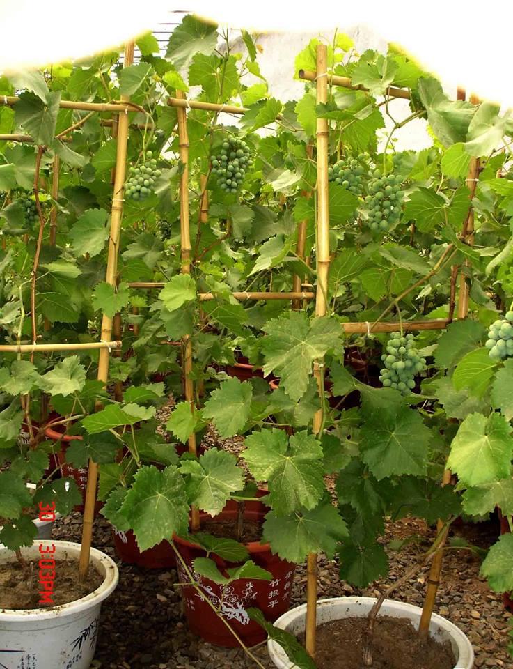 100 Gambar Anggur Di Pot Paling Hist