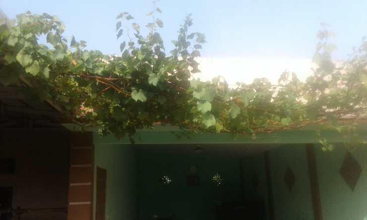 Pohon anggur dewasa belum juga berbuah