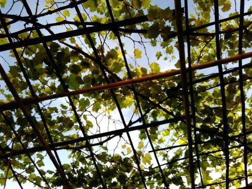 Tajuk pohon anggur yang tidak dibentuk