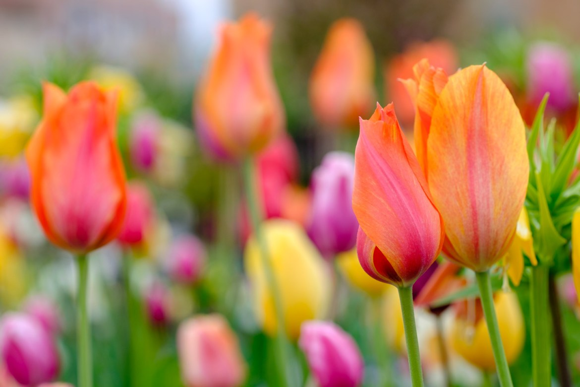 Lots of spring tulips
