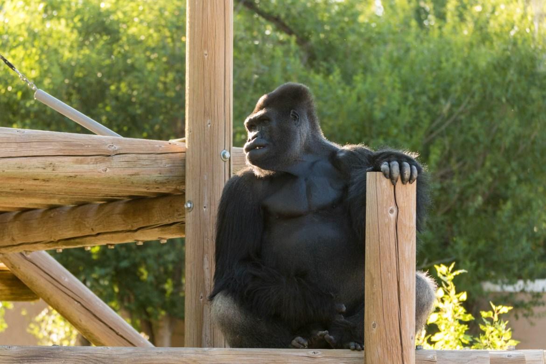 Call be Bob the Gorilla