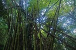 Yunque Rainforest - Bamboo Craze