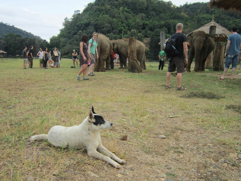 Rescue dog in foreground, elephants and people;e in background at Elephant Nature Park, near Chiang Mai, Thailand