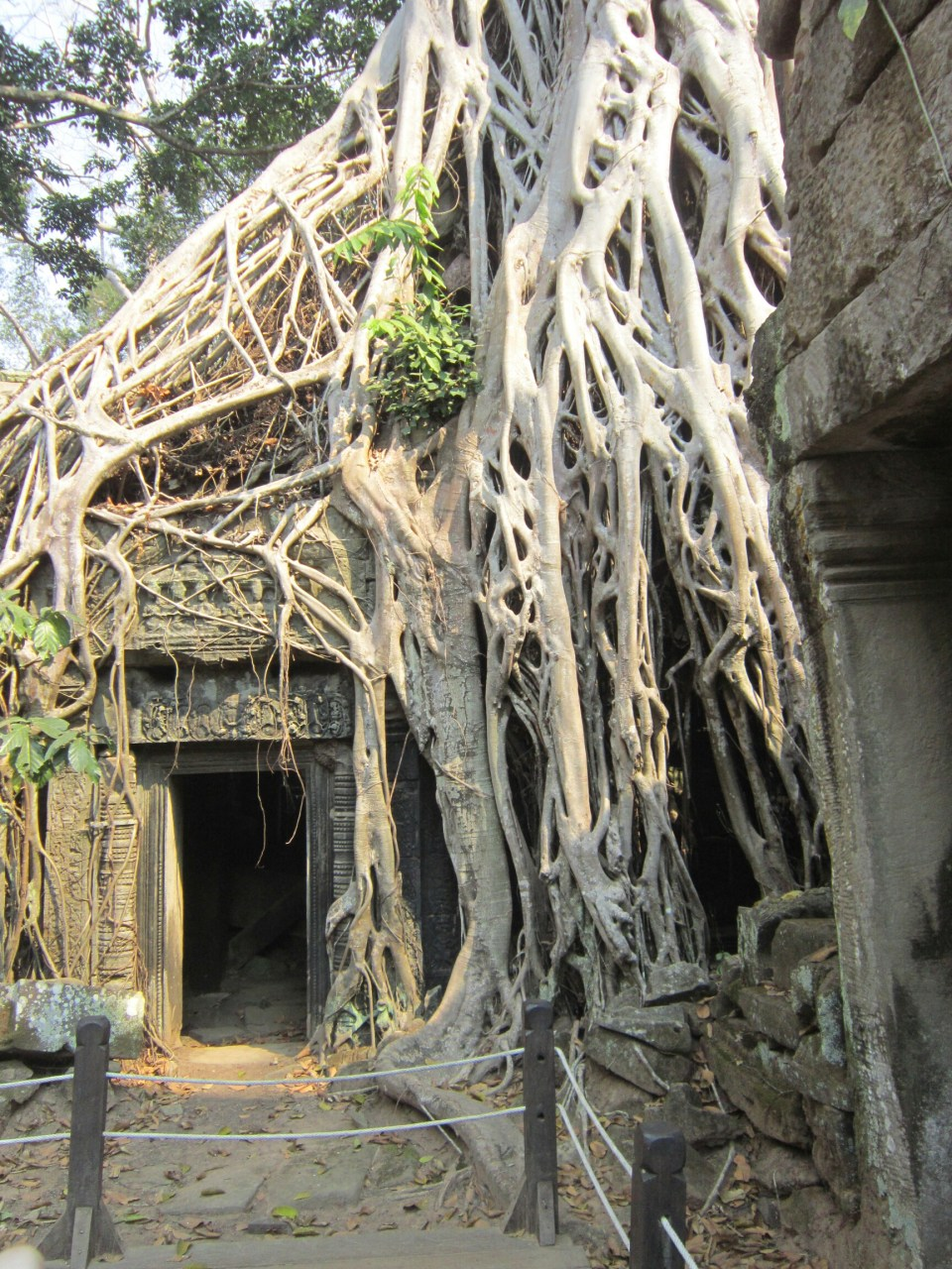 Ta Prohm temple entrance overgrown with a tree. In Angkor, Cambodia.