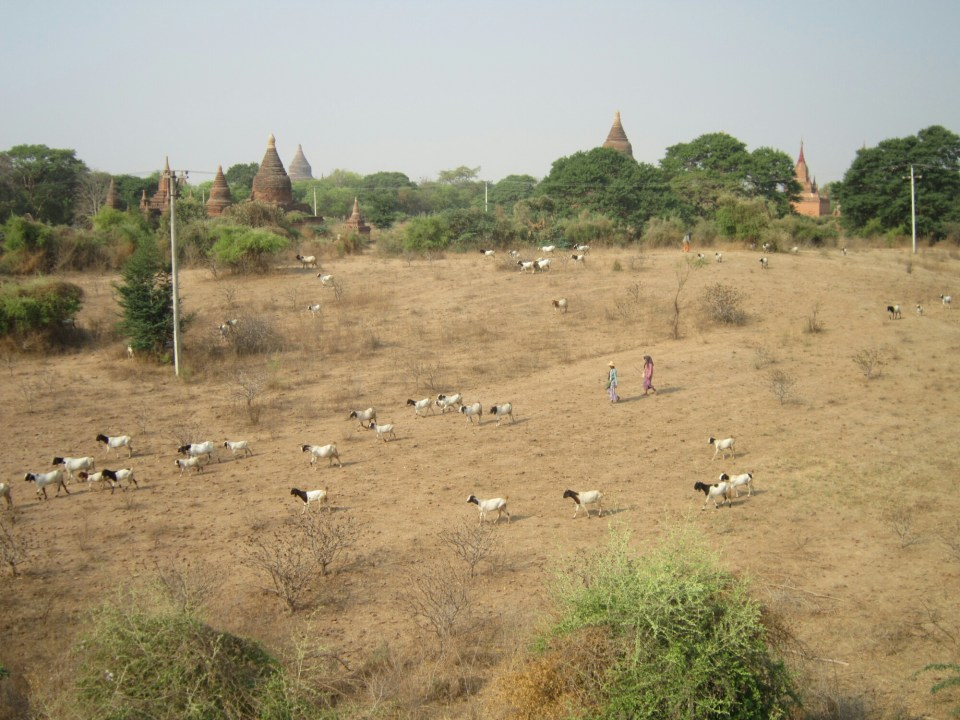 Goats being headed through the tempels of Bagan