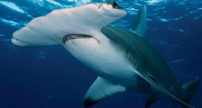 Photo of Hammerhead Shark