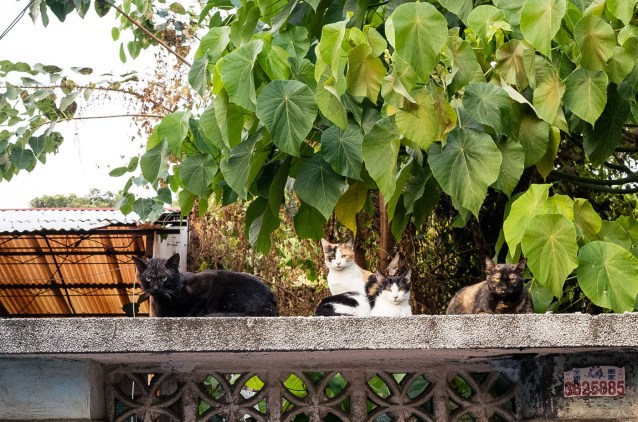 Cats of HuangPu