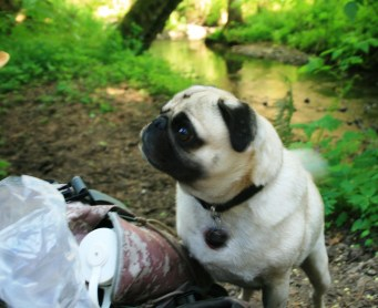 This is what Pug Hunger looks like halfway through a 9 mile hike....you should see the end of the hike look.