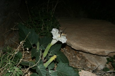 Came across this moth drinking nectar from this night blooming flower. Too cool!