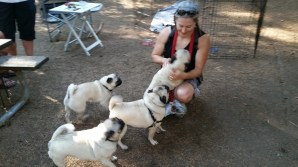 A grumble of Pugs. Which one is Dizzy?