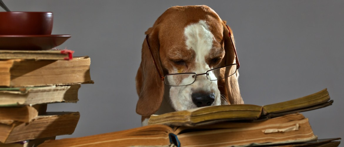 Very smart beagle reading old books