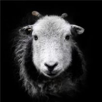 Sid The Serious Sheep
