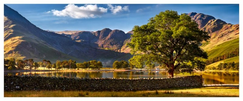 The Buttermere Oak Tree - Lake District Print