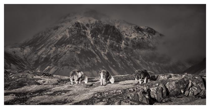 Three Sheep and a Mountain - Black White Print