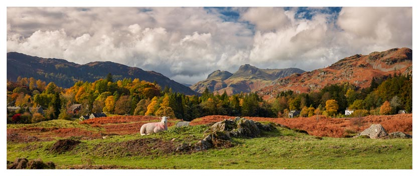 Sheep on Elterwater Common - Lake District Print