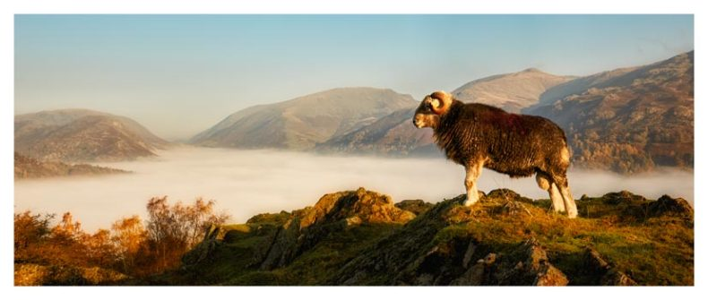 Ram at Grasmere - Lake District Print