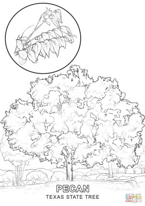 Texas Coloring Pages Texas State Tree Coloring Page Free Printable Coloring Pages