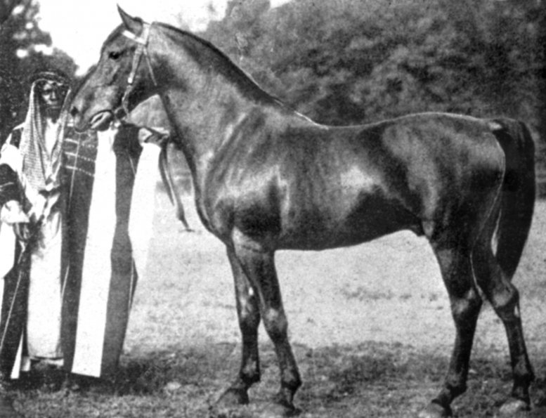 Haleb 25 Foundation Davenport Arabian Horses
